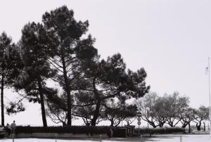Pins plantés le long du port dans les années 1965