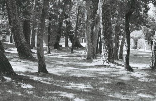 un morceau de forêt landaise