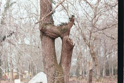 En face du cimetière des Bruyères, on lotit un terrain privé : il reste cet arbre, curieusement embranché