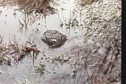Ponte de grenouille rousse merci à Benjamin Viry de nous l'avoir signalé