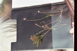 bruyères ciliée et tétralix