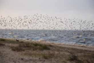 Plage du Bétey, refuge des oiseaux de mer l'hiver par grand vent