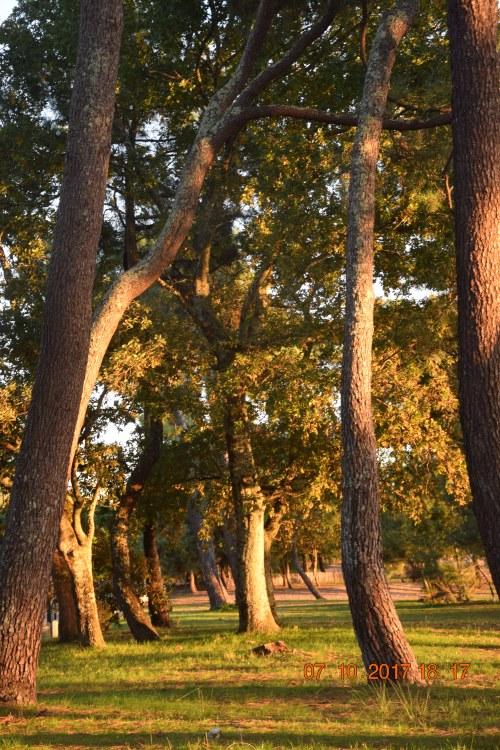 Chêne de la plage boisée du Bétey avec un soleil d'octobre, un peu rasant.