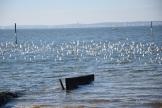 Près de 500 limicoles ce matin là sur les plages du Bétey. Bécasseau ou ?