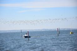 30 octobre 2018 vols de limicoles sur les plages du Bétey