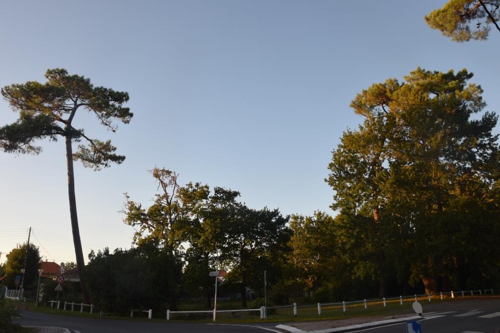 ce grand pin a séché pendant l'hiver 2020; il a été coupé en juin 2020. Sera-t-il remplacé ? bois du Bétey,